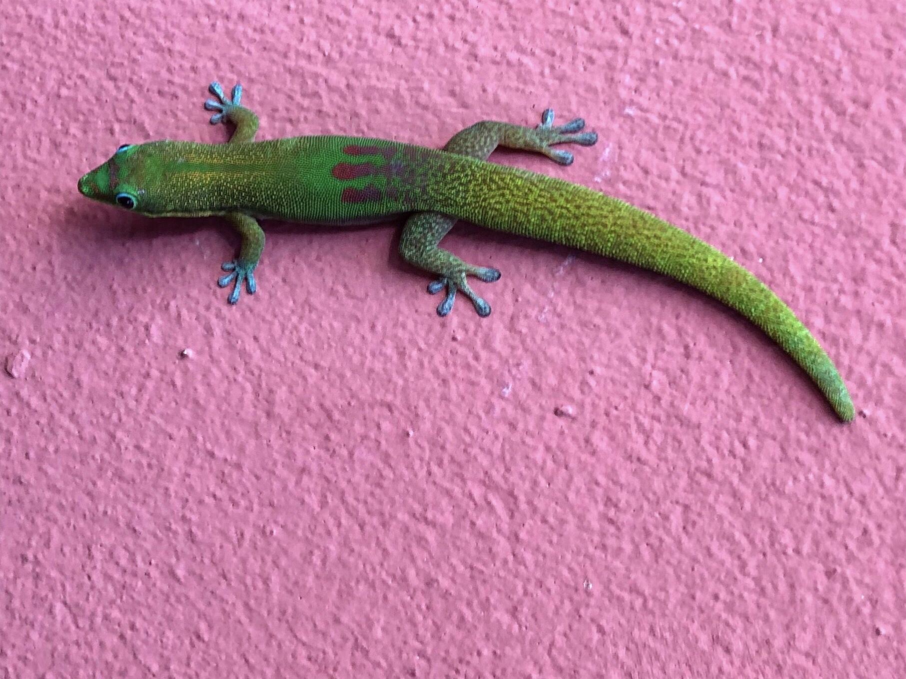 Passion Gecko : quels sont les espèces observables à La Réunion ?