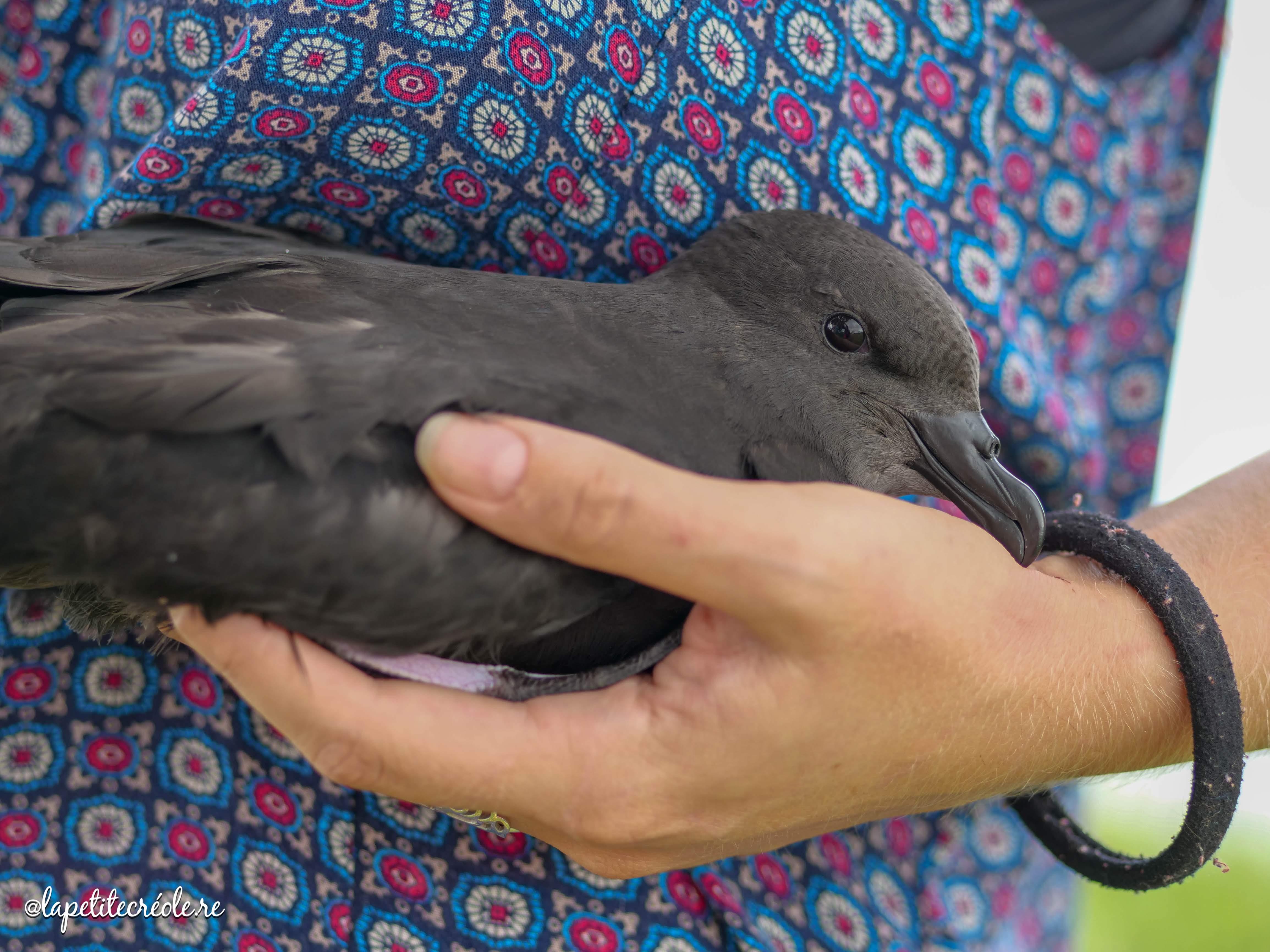 pétrel noir de bourbon, oiseau endémique de La Réunion